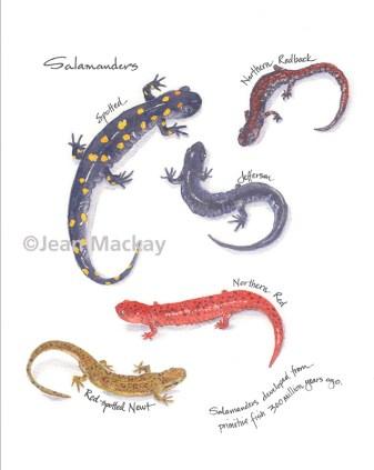 Salamanders. watercolor. 8x10