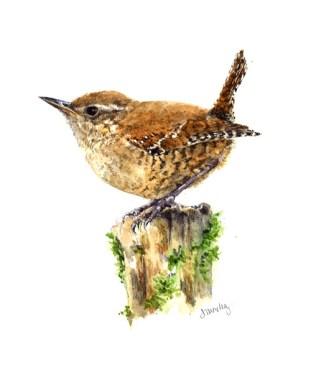 Winter Wren, watercolor, 5x7
