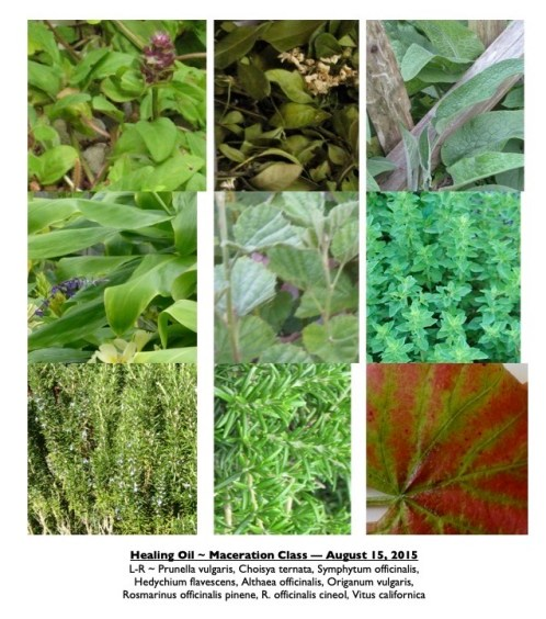photos of plants, 9 of the many herbs that are used in bruise juice.
