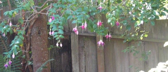 A wooden garden fence with a fuchsia growing in front and 2-dozen Fuchsia flowers