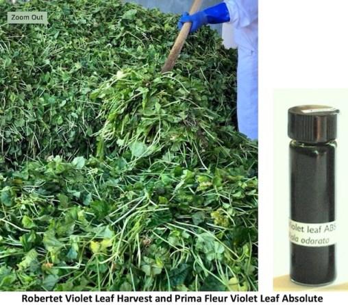 Robertet Violet Leaf Harvest and Prima Fleur Violet Leaf Absolute