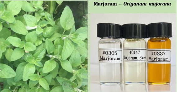 Marjoram plant and 3 types of Marjoram oil • photos by JeanneRose