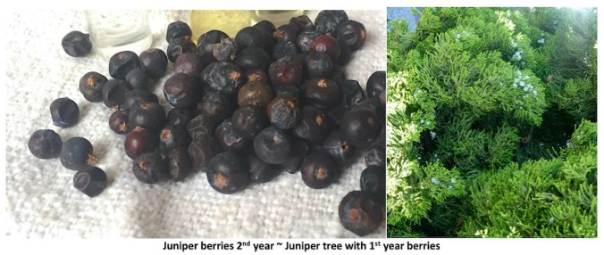 2nd year black Juniper berries and a trees branch showing 1st year pale blue berries.