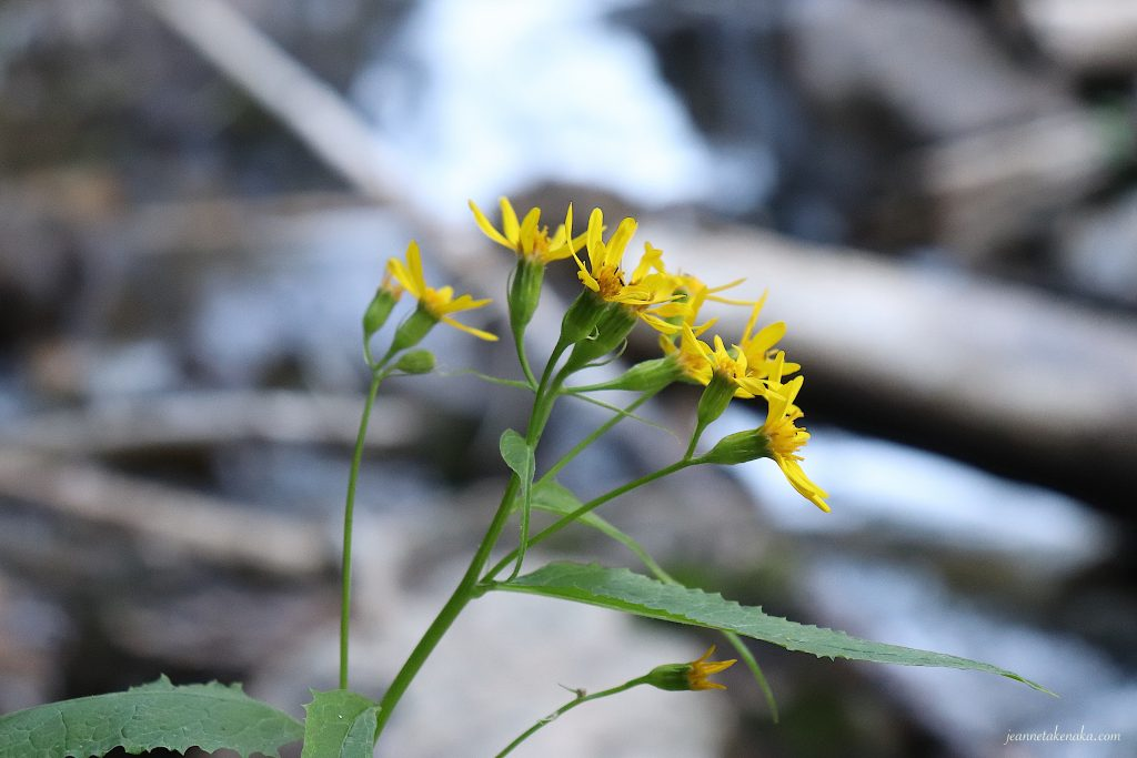 A closeup of yellow flowers with a blurred background of a waterfall