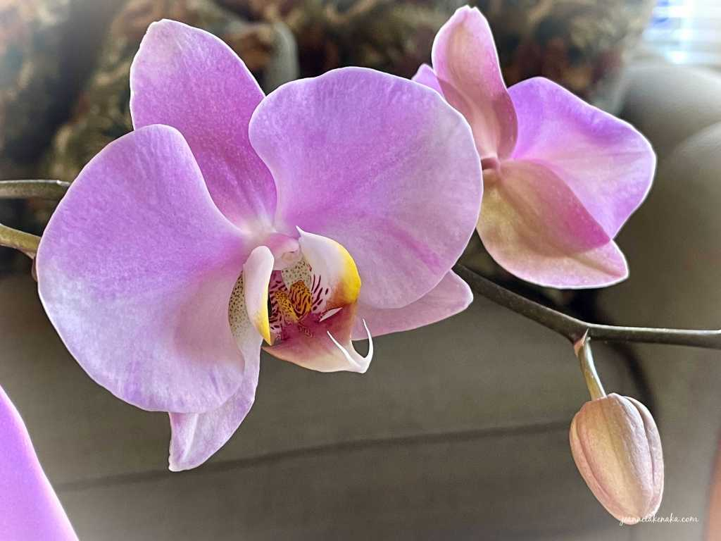 An image of an orchid with another in bud
