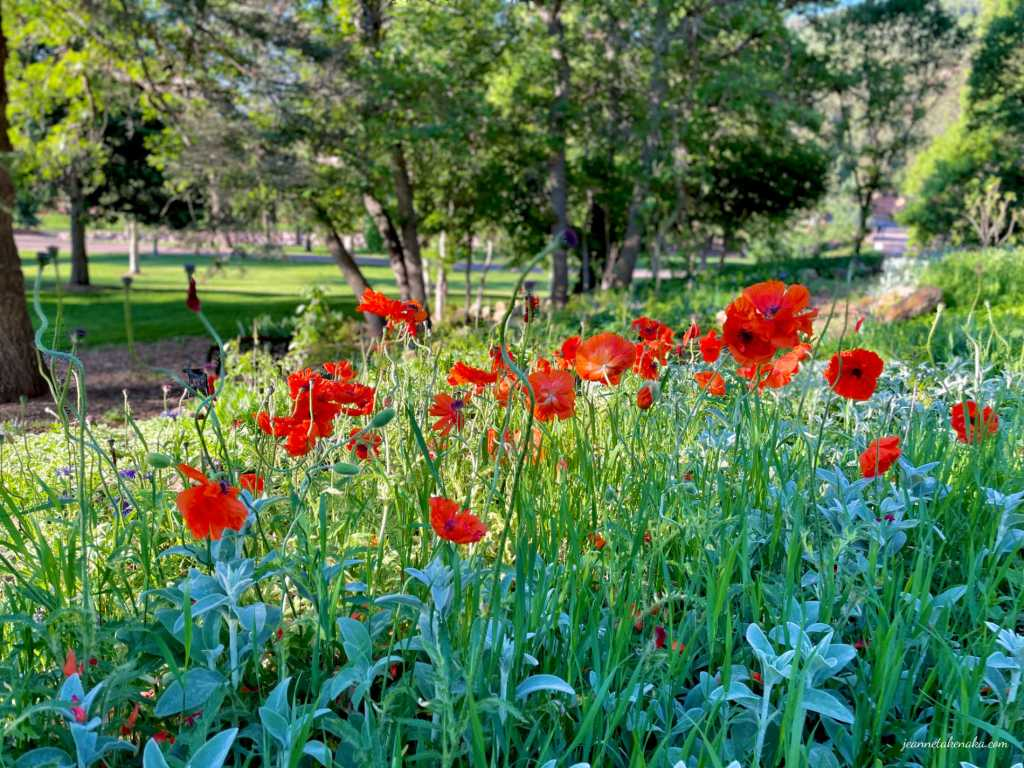 A small grove of brilliant poppies