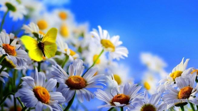 cropped-blanc-ciel-bleu-fleurs-jaune-marguerites-papillon_2560x1440-1