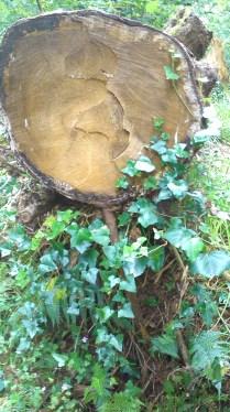 ivy and log