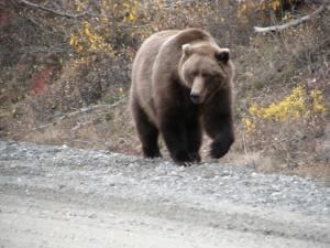 Bear Heading Straight For Us