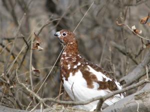 Willow Ptarmigan, State Bird of Alaska