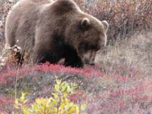 First Grizzly sighting of the day