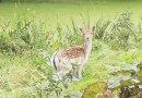Ontsnapt hertje teruggevonden in Park Hitland, drie andere hertjes nog op avontuur