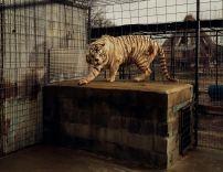 White Tiger (Kenny) © 2014 Taryn Simon