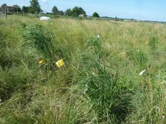 Switchgrass (Panicum virgatum) in a field experiment examining fitness effects of virus infection. Plants experienced a natural environment including plant competition and herbivory. Photo: Helen Alexander, July 2014 (doi.org/10.1111/1365-2745.12723)