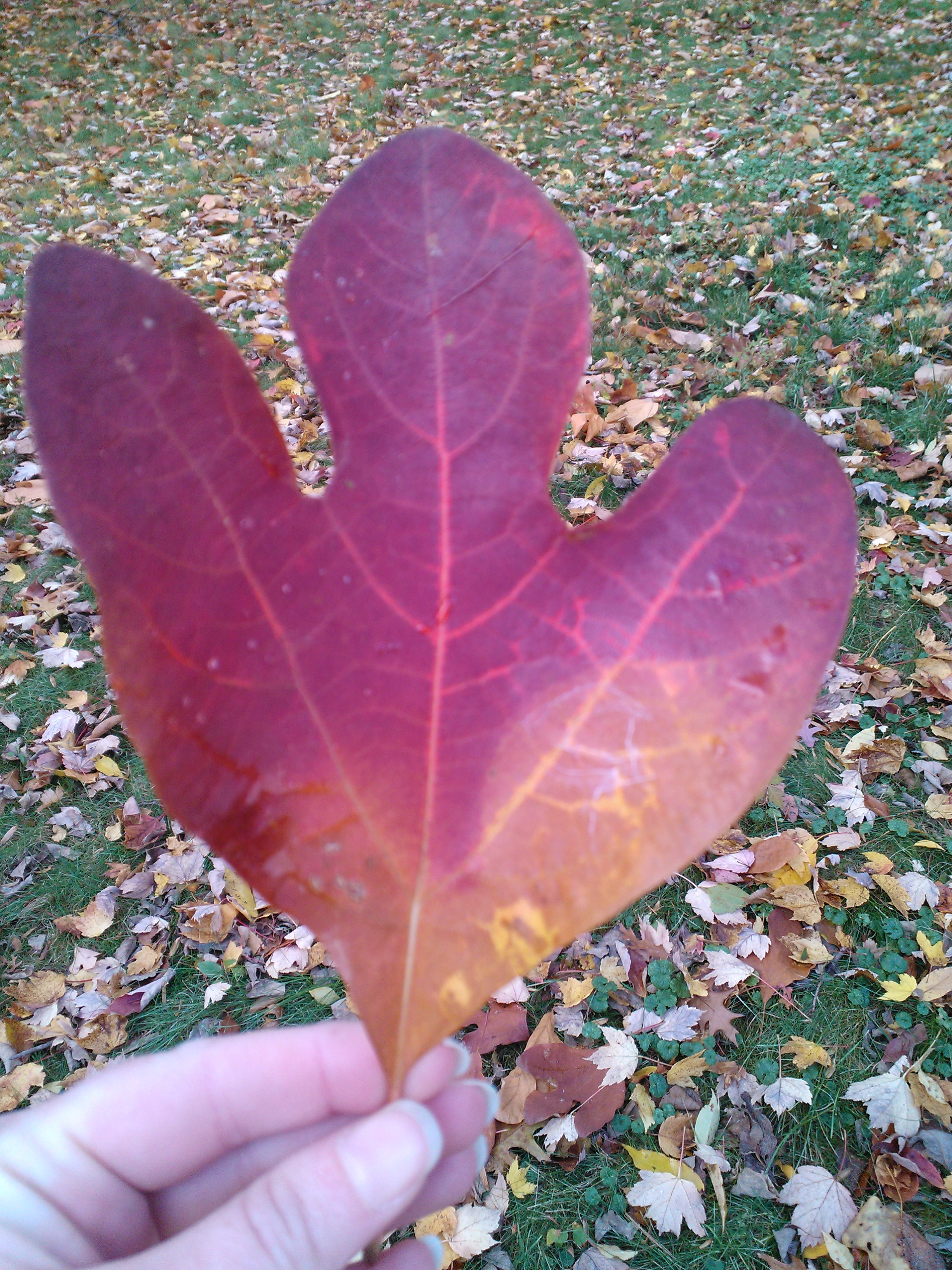 Fall Leaf Identification Jedi By Knight