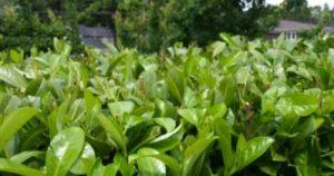 Trimmed English laurel hedge.