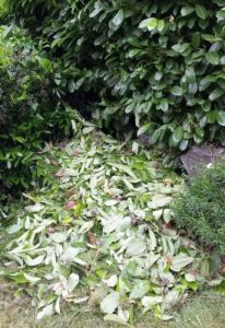 English laurel litter pile.