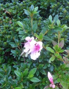 A lone pink azalea bloom in October