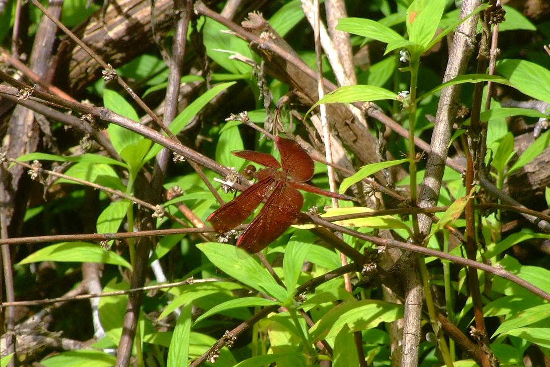 there seems to be quite a lot of these red dragonflies anywhere near jungle streams