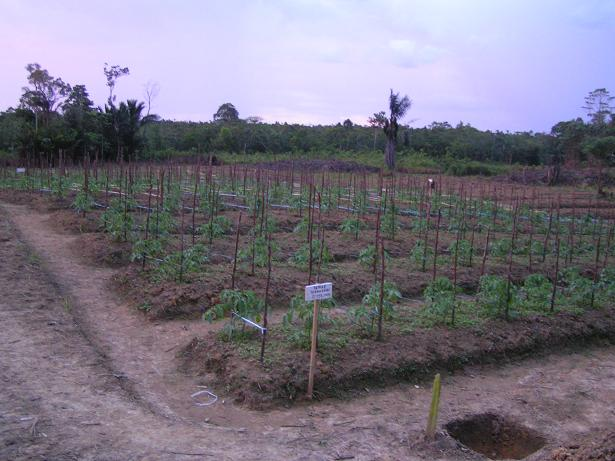 Tomatoes, these will get sent across the border to Malaysia, it helps that a 600 000 city (Kuching) is just 2 hours away.