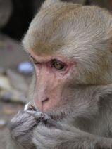 Closeup na makaka