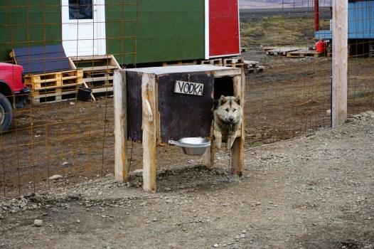 Pies pociągowy - Svalbard
