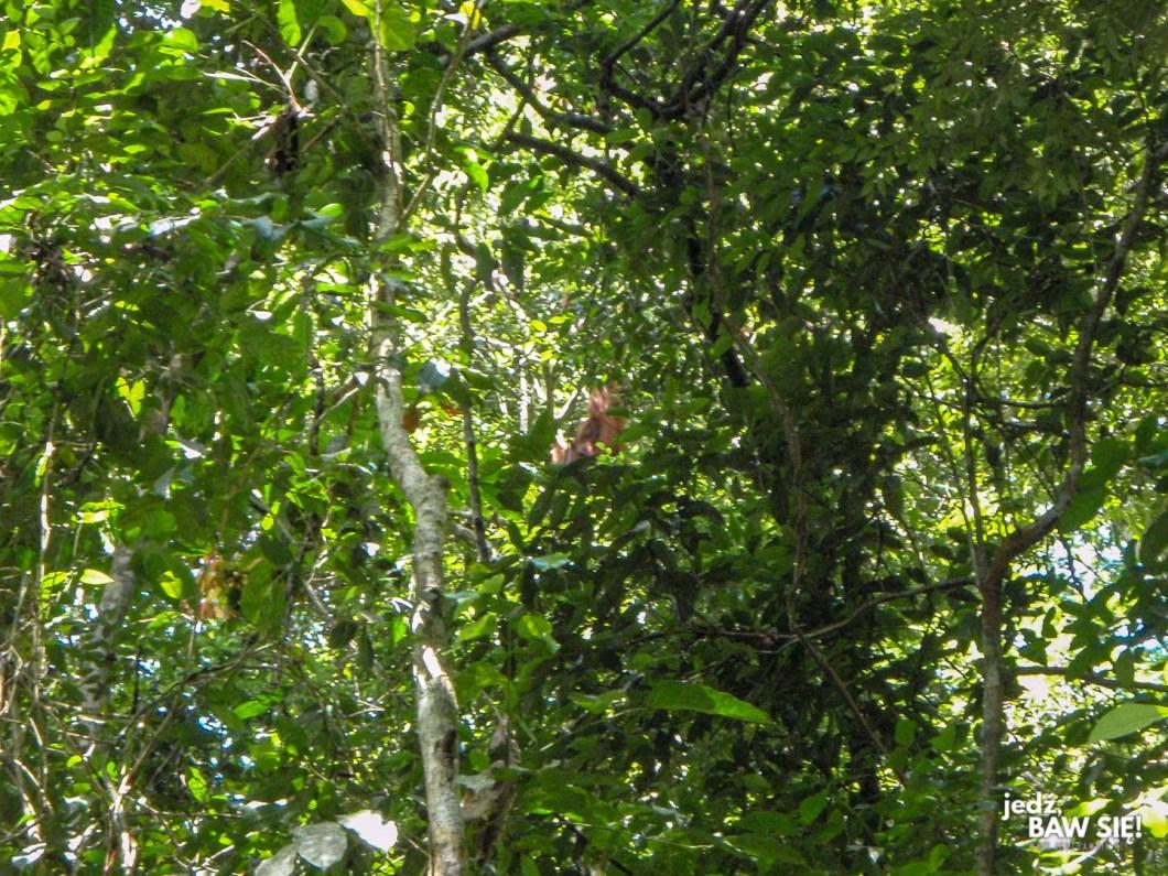 Orangutan - Gunun Leuser