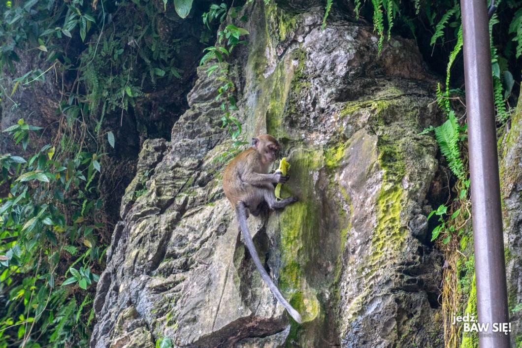 Batu - małpa
