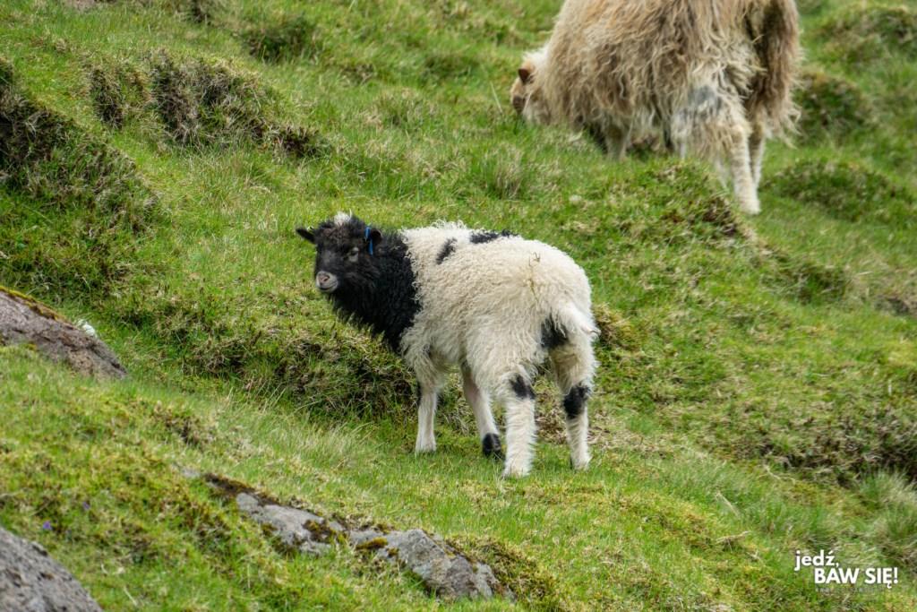 Owca z Wysp Owczych