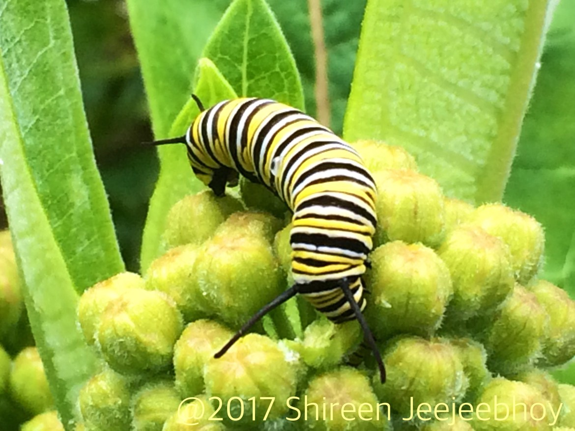 Two headed striped caterpillar on milkweed