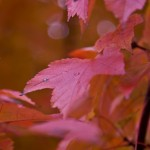 red maple leaves after an October rain shower