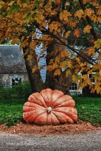 Prize winning pumpkin in Topsfield on the side of the road