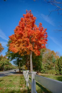 a single orange and yellowish red Maple tree stands at roadside with other trees envious of its glorious colors