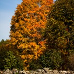 a cloudless blue autumn sky frames an orange colored maple stands over a rock wall
