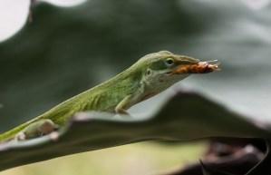 Houston Photographer – Lizard