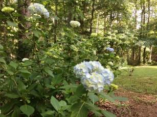 Hydrangeas beginning to bloom in my back yard.