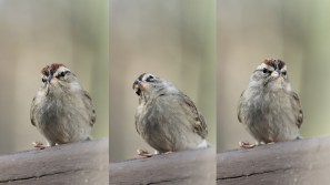 Sparrow tryptich