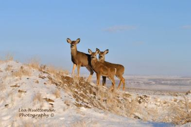 mule deer, holistic management, Jefferson Center for Holistic Management