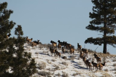 elk, wildlife, holistic management