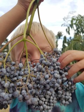 elderberries, foraging, holistic management, regenerative agriculture, Jefferson Center