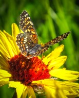 Butterfly on blanketflower in July, Blue Lake, Crazy Mountains, Montana