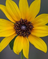 Sunflower in June, Billings Rimrocks