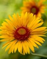 Gaillardia, aka blanketflower in July near Pine Creek Lake, Montana