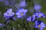 Wild Blue Flax in June near Lewistown, Montana