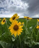 Sunflowers in June near Moore, Montana