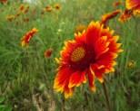 Sunflowers in June, Billings Montana