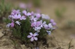 Phlox in May in the Pryor Mountains