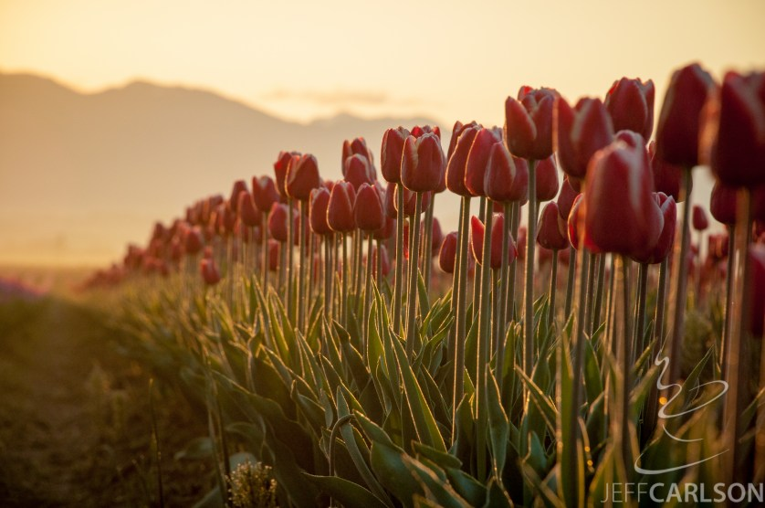 The sunrise kisses the edges of tulip leaves and stems.