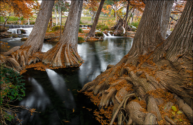 Grand Cypress in Autumn (1/3)