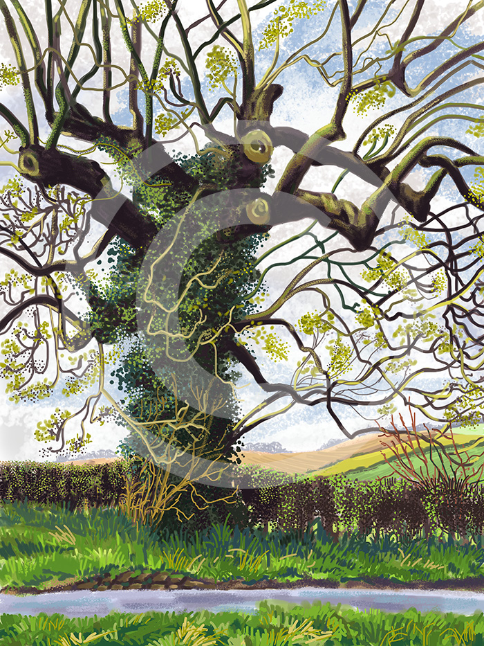 ipad drawing of Spring Tree at Oulston
